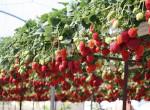 Насколько выгодно выращивать клубнику